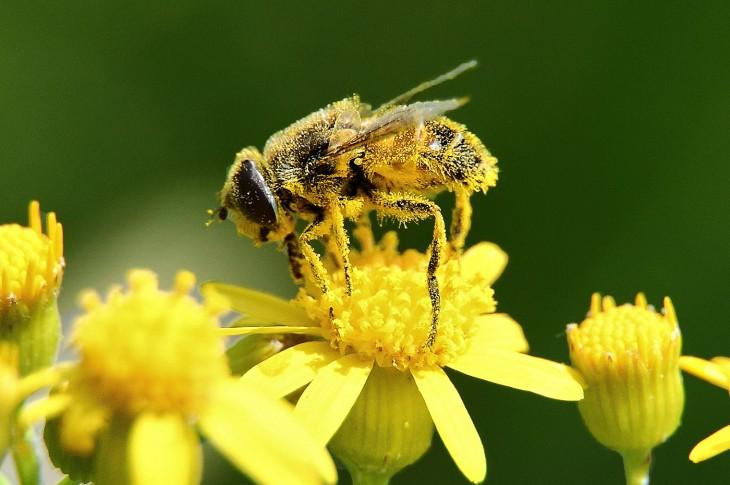 bee_pollen2