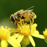 Top 5 Benefits of Bee Pollen